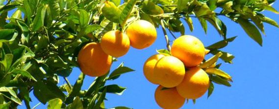 Naranjas del turia naranjas de valencia venta de - Naranjas del arbol a la mesa ...