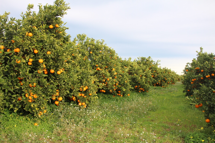 Naranjas de valencia naranjas del turia naranjas de - Naranjas del arbol a la mesa ...