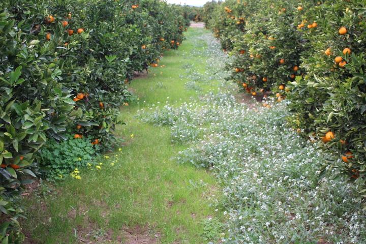 Fotos de las naranjas en el rbol el d a 26 de enero 2014 - Naranjas del arbol a la mesa ...